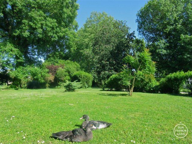 Ducks in France