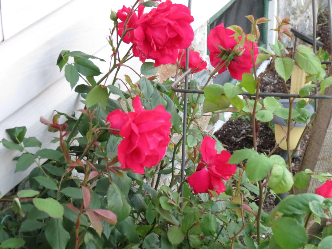 A close up of the red roses in Lower East Pubnico.