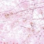 菜種梅雨・花冷え・2015と小野小町