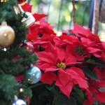 クリスマスの花ポインセチア、由来と花の育て方と毒性
