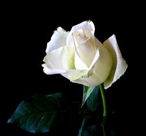 rose-342526_640