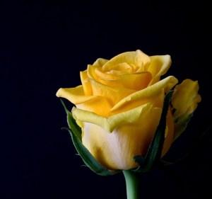 rose-bloom-320842_640