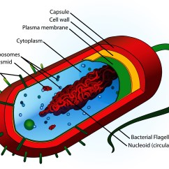 Bacterial Cell Diagram And Functions Circuit Of Solar Power System Effective Use Alcohol For Aromatic Blending Tisserand