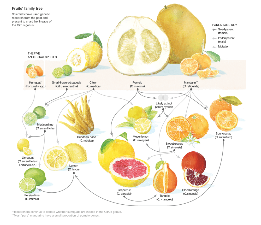 medium resolution of citrus family tree with permission of the national geographic society