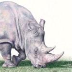 Helen Clifford - Rhino