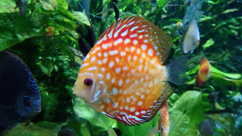Ikan Diskus (Symphysodon discus)