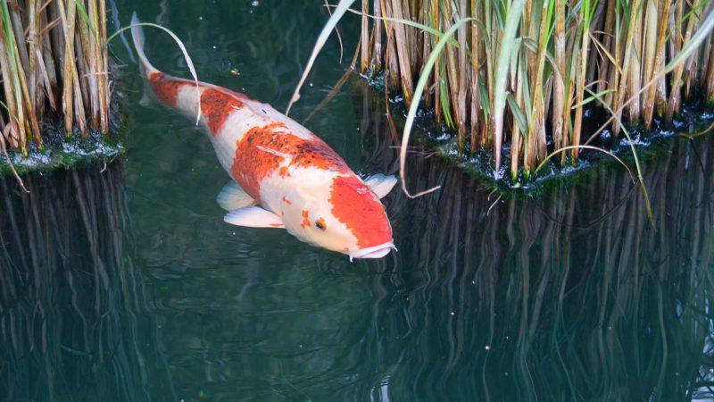 Ikan Koi (Cyprinus carpio)