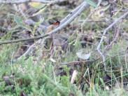 Gulbrynsanger (Phylloscopus inornatus) 29. september 2016. Foto: Vegard Aksnes