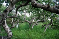 Saskatchewan Crooked Trees