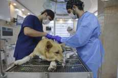 Rasht, Iran – May 2020. This dog that has been brought to this unfortunate end due to being a victim of physical violence by humans, is transferring to this part of the clinic to undergo surgeries. The doctor is treating this animal.