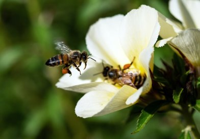 2 honeybees pollinating a white flower green foliage in the background