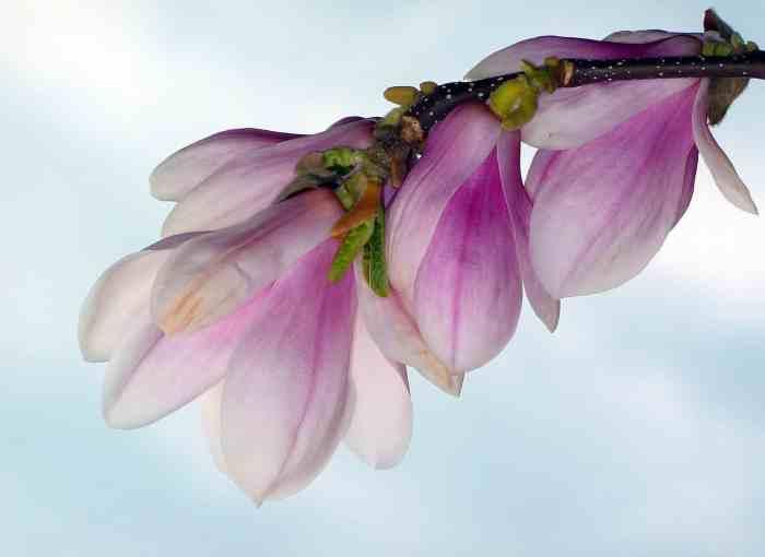 fiore germoglio
