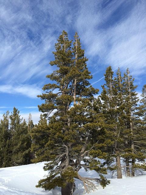 Gnarly tree Overlooking Tahoe