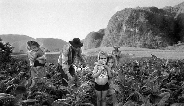 Tobacco harvest in Cuba