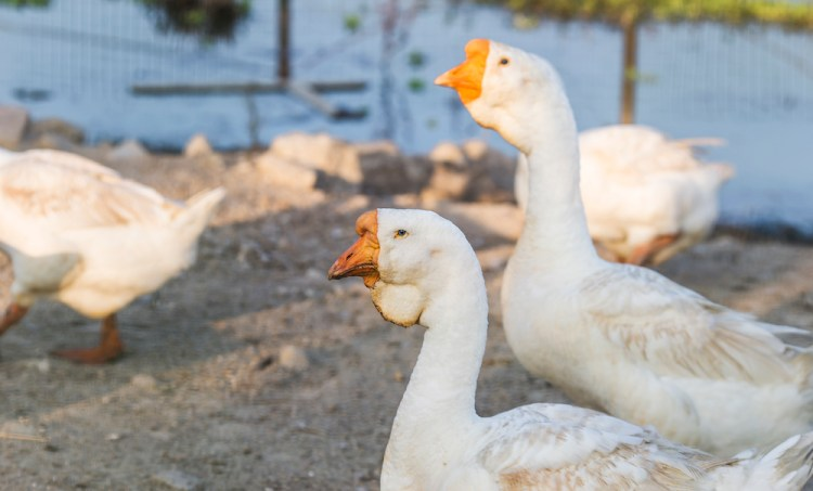 5 Radio Lessons From a Flock of Geese
