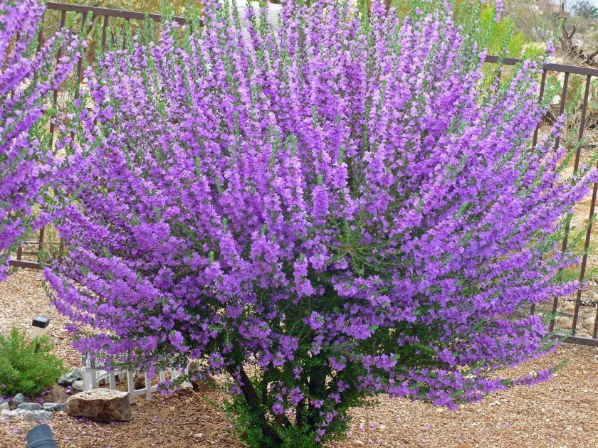 sage bushes with purple flowers