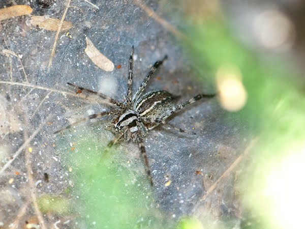 What kind of spider makes a tunnel web – funnel web ...