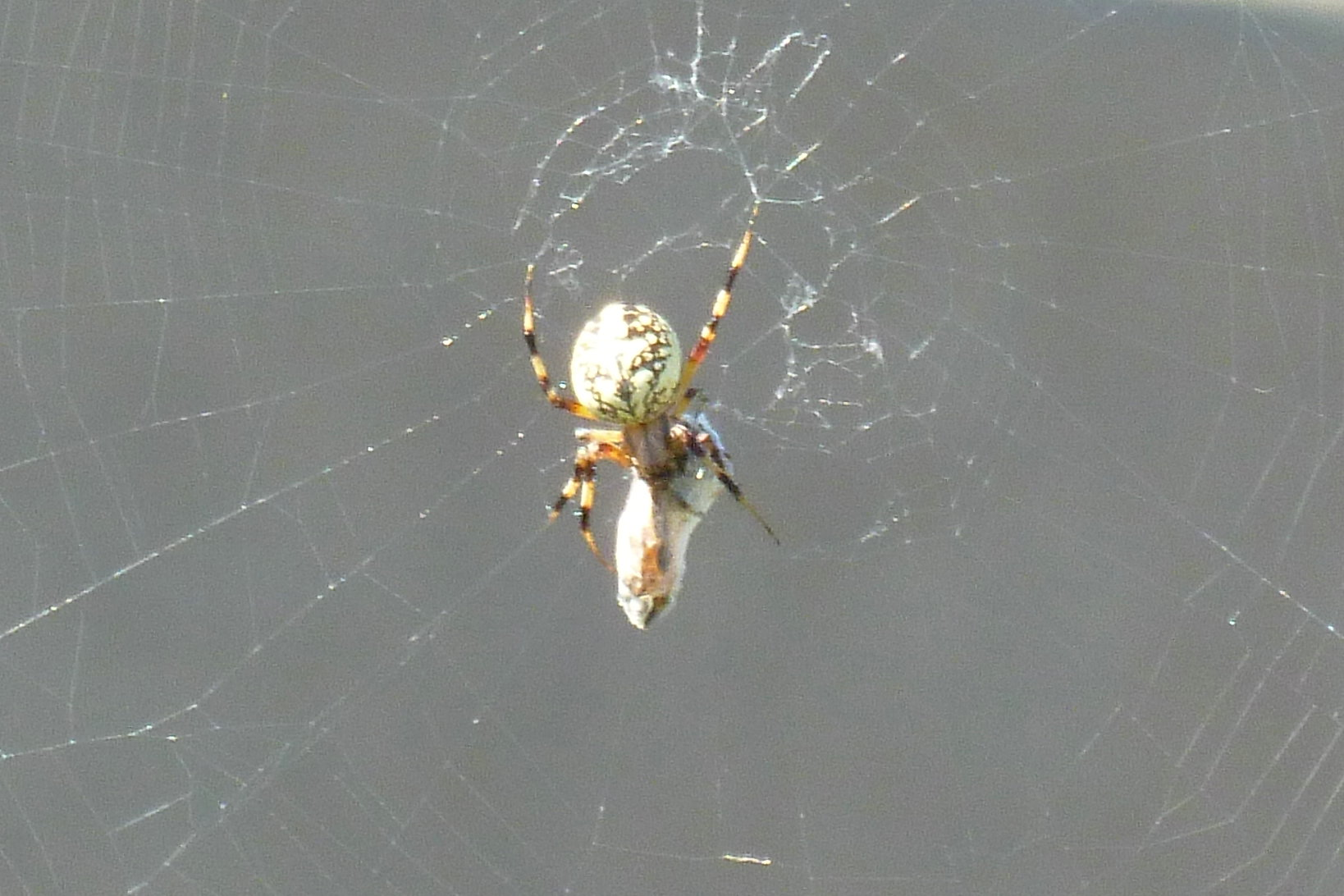 Brown Spider With Black Mark On Belly Pictures To Pin On