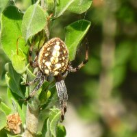 Identify a spider with white spots, striped legs, yellow, white design abdomen stomach - Orb-weaver