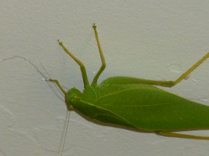 What insect looks like a green leaf true katydids