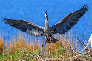 Great Blue Heron - ANWR