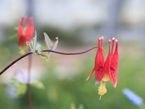 Eastern Red Columbines