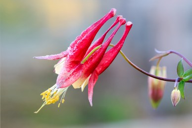 Eastern Red Columbine