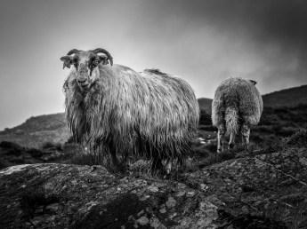 Ballaghisheen Sheep