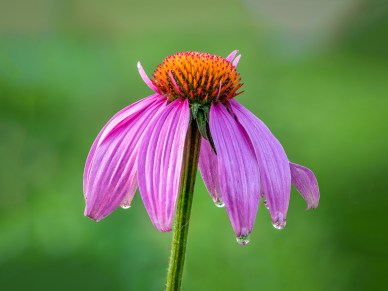 Dew on an Eastern Purple Coneflower