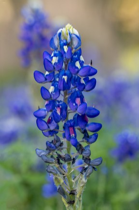 Texas Bluebonnet Time