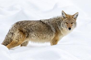 Posing Coyote