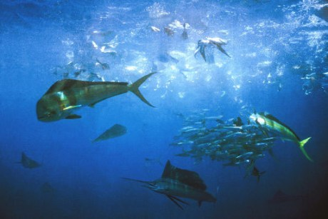 photo-dorado-sailfish.jpg