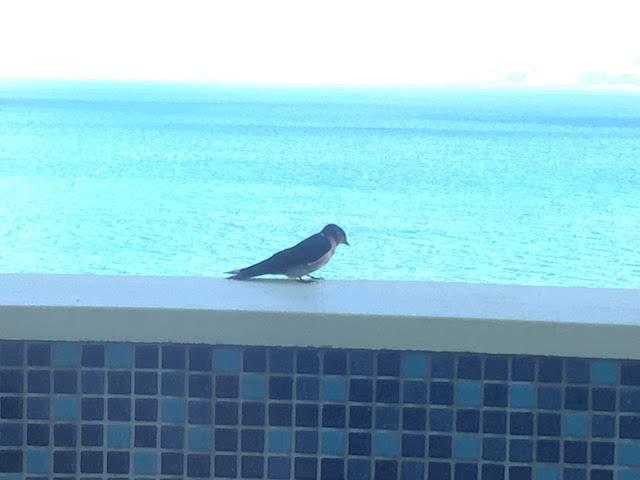 沖縄 かねひで喜瀬ビーチパレス テラス 鳥
