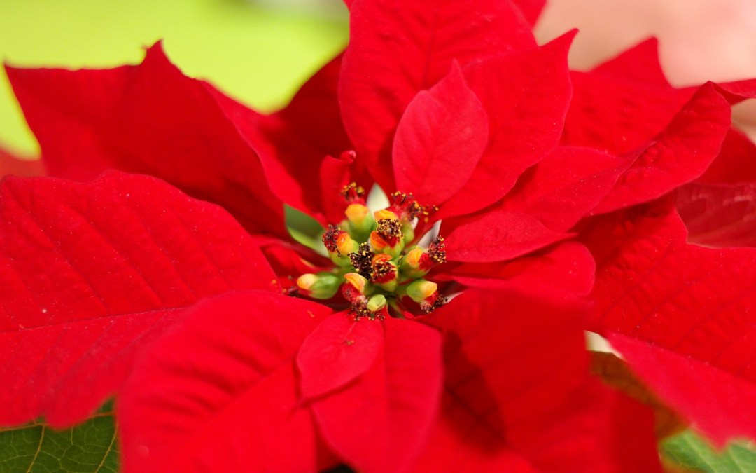 Thank you to Poinsettia Donors!