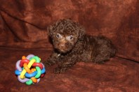 Sweet Thanng Female CKC Morkipoo SOLD