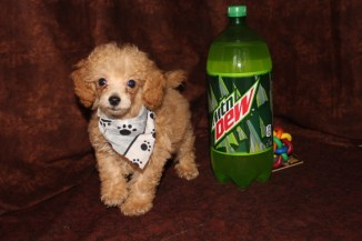 1 Poodle 10w1d old 2.08lbs 035