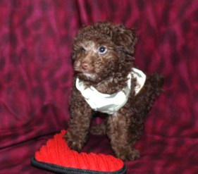 Charlie Male CKC Morkipoo Ready MaY 13TH $1750 SOLD