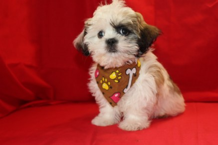 Patches Male CKC Imperial Shih Tzu $1500 Ready 7/9 SOLD