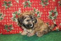 Toby Male CKC Shorkipoo $1750 Ready 12/14 SOLD MY NEW HOME IS ORANGE PARK, FL