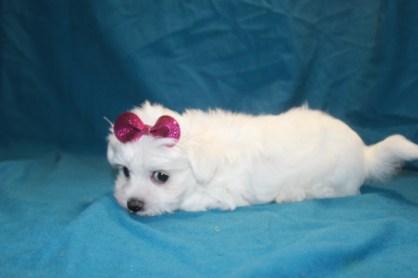 Snow White Female CKC Maltese $1750 Ready 2/2 SOLD MY NEW HOME JACKSONVILLE, FL