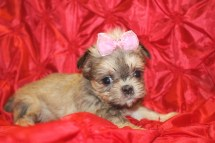 Tag A Long Female CKC Shorkie $1750 Ready 2/22 SOLD MY NEW HOME IS JACKSONVILLE, FL I'M GOING WITH CHARLEE