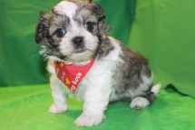 Daffy Male CKC Malshi $1750 Ready 3/16 SOLD MY NEW HOME IS BRANCHVILLE , NJ