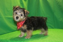 Han Solo Male CKC Morkie $1750 Ready 2/16 AVAILABLE