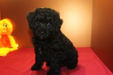 Shadow Male CKC Poodle $1500 Ready 4/3 SOLD! MY NEW HOME IS CALLAHAN, FL