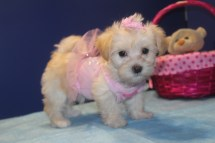 Sweetie Female CKC Morkipoo $1750 Ready 4/16 AVAILABLE