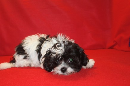 Lucy Female CKC Shorkipoo $1750 Ready 5/20 SOLD NEW HOME ORLANDO, FL