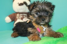 Marlie Male T-CUP Yorkie $2500 EASTER SPECIAL NOW $1750 WITH ALL VACCINES INCLUDING RABIES SOLD MY NEW HOME JAX, FL