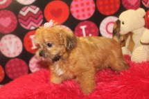 Maple Female CKC Shorkie $1750 Ready 9/15 SOLD MY NEW HOME DRIFTWOOD, TX