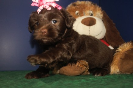 Mindy Female CKC Morkipoo $1750 Ready 9/28 HAS DEPOSIT MY NEW HOME PACIFIC PALISADES, CA