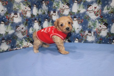 Buddy Male CKC Morkie $1750 Ready 12/12/16 SOLD MY NEW HOME MIAMI, FL